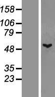 NBL1-17417 - TTLL1 Lysate
