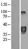 NBL1-18018 - TTP Lysate