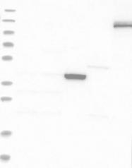 NBP1-85992 - TTYH1