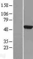 NBL1-17431 - TUBA3D Lysate