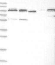 NBP1-81841 - TUBGCP2