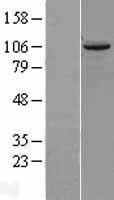 NBL1-17446 - TUBGCP2 Lysate