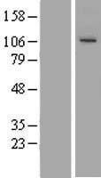 NBL1-17447 - TUBGCP3 Lysate