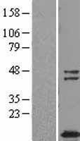 NBL1-17454 - TUSC2 Lysate