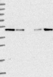 NBP1-87676 - KIAA0174 / IST1