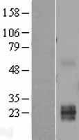 NBL1-17461 - TWSG1 Lysate