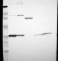 NBP1-87306 - TXNDC1 / TMX1