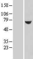 NBL1-17470 - TXNDC3 Lysate