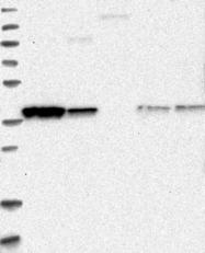 NBP1-90021 - Glutaredoxin-3 / GLRX3