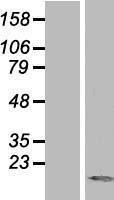 NBL1-17476 - TXNL4A Lysate