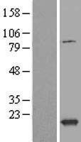 NBL1-17477 - TXNL4B Lysate