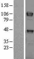 NBL1-17482 - TYRO3 Lysate