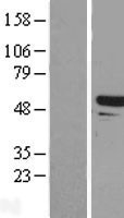 NBL1-16699 - Tapasin Related Protein Lysate