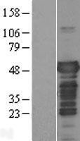 NBL1-12895 - Tau Lysate