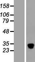 NBL1-09258 - Tetranectin Lysate