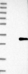 NBP1-87821 - Tetraspanin-4 (TSPAN4)