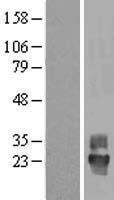 NBL1-17378 - Tetraspanin-4 Lysate