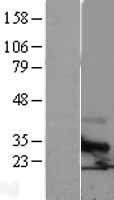 NBL1-17380 - Tetraspanin-6 Lysate