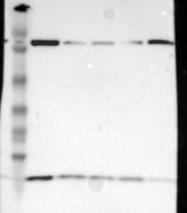 NBP1-92499 - Thioredoxin-2 / TRX2