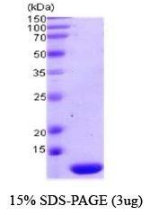 NBC1-18542 - Thioredoxin-2 / TRX2