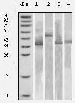 NB110-60539 - Thioredoxin / TRX1