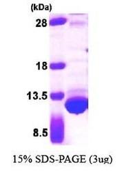 NBP1-44476 - Thioredoxin / TRX1