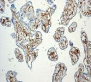NBP1-95319 - CD141 / THBD