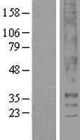 NBL1-16752 - Thromboxane A2 receptor Lysate