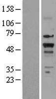 NBL1-16896 - Thyroid Hormone Receptor beta Lysate
