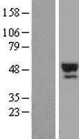 NBL1-15840 - Thyroxine Binding Globulin Lysate