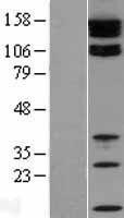 NBL1-16938 - Tight junction protein ZO-2 Lysate