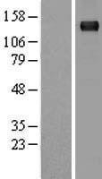 NBL1-16915 - Timeless Lysate