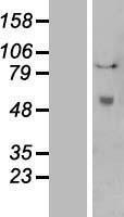 NBL1-14485 - Tissue Plasminogen Activator Lysate
