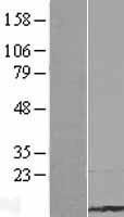 NBL1-13073 - Tmsbl1 Lysate