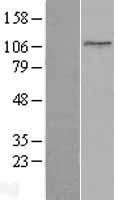 NBL1-17194 - Topoisomerase I Lysate