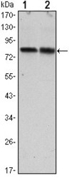 NBP1-51665 - CRTC2 / TORC2