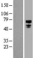 NBL1-16837 - Transcription factor E3 Lysate