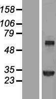 NBL1-16867 - Transglutaminase 2 Lysate