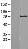 NBL1-16868 - Transglutaminase 4 Lysate