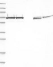 NBP1-87442 - Transketolase (TKT)
