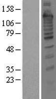 NBL1-16785 - Treacher Collins syndrome protein Lysate