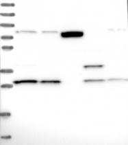 NBP1-87417 - Triadin (TRDN)