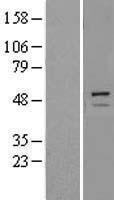 NBL1-17275 - Trim11 Lysate