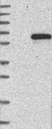 NBP1-81794 - TRIM22 / RNF94