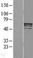NBL1-17282 - Trim22 Lysate