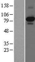 NBL1-13833 - TrkA Lysate