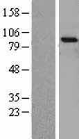 NBL1-13834 - TrkA Lysate