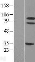 NBL1-13835 - TrkA Lysate