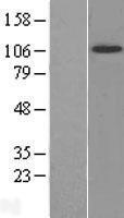NBL1-13837 - TrkB Lysate