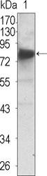NBP1-47539 - TrkC